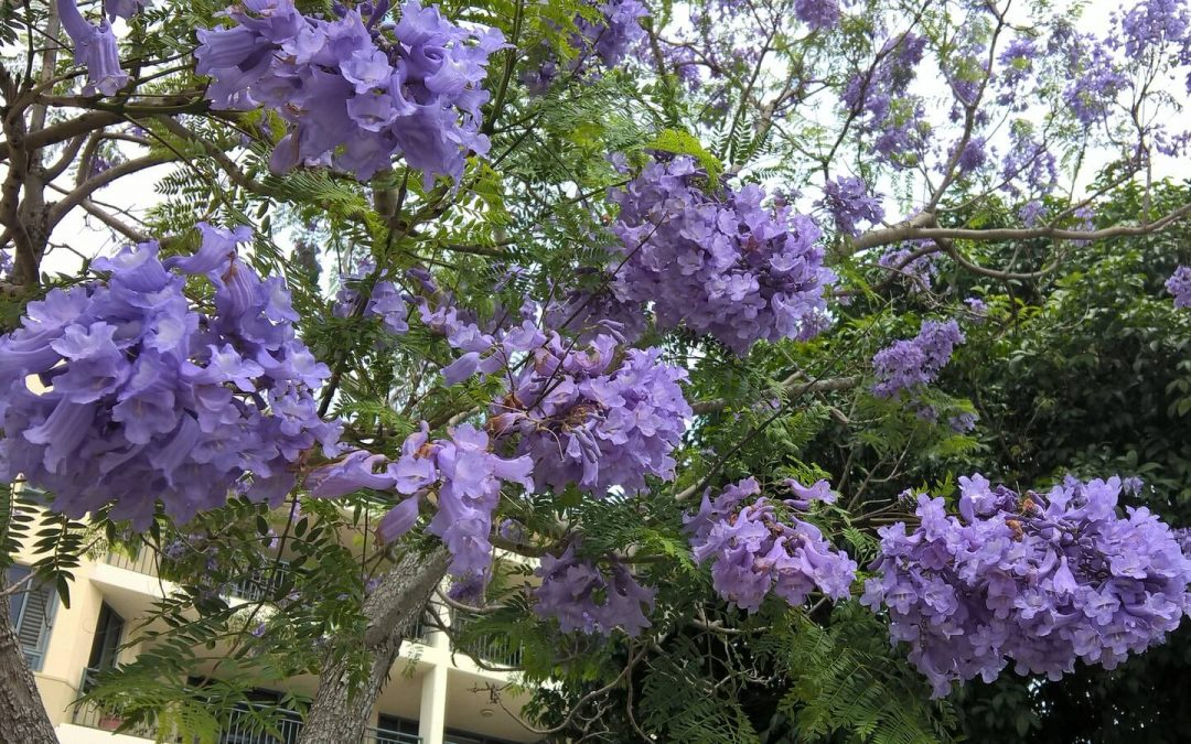 The Purple Blossoms of the Jacaranda Trees