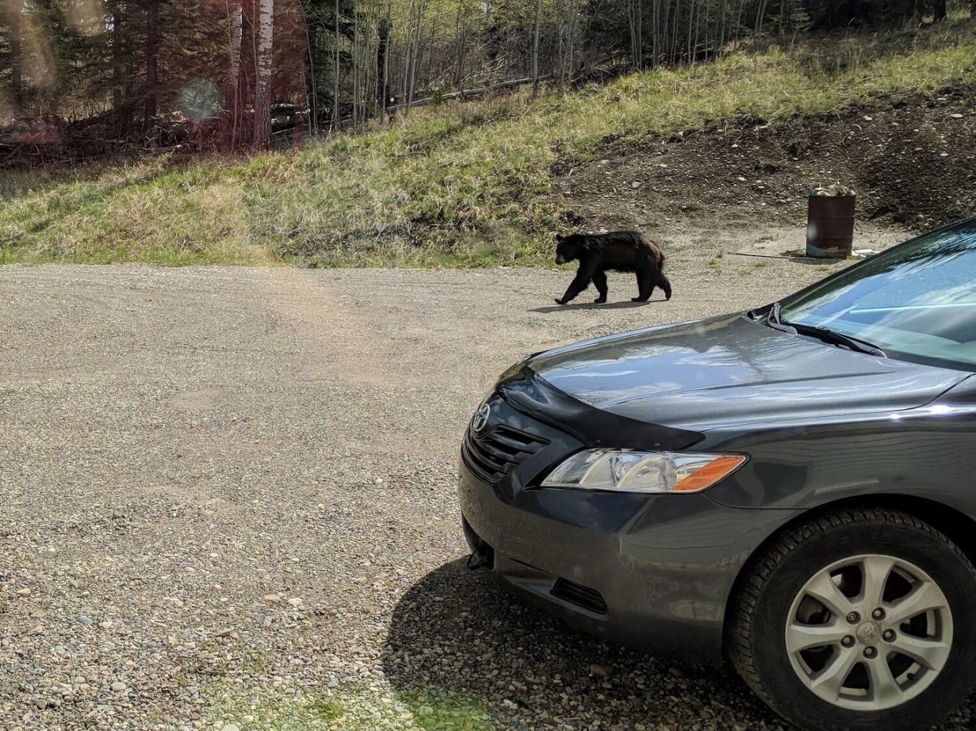 Black bear by our car