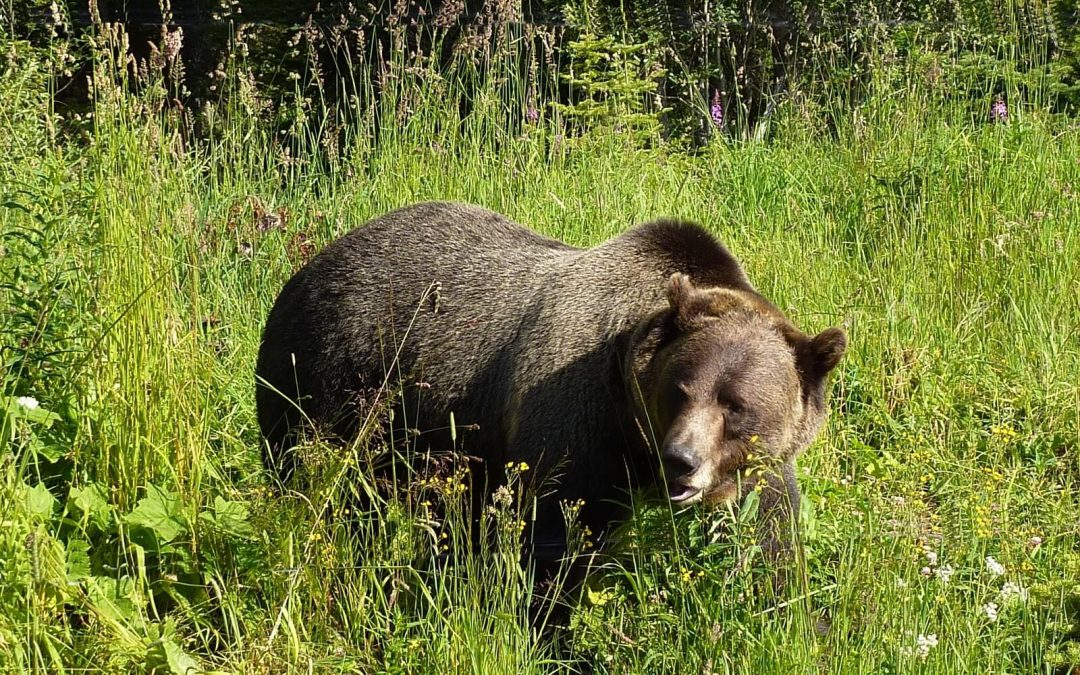 Grizzly and Black Bear Alert